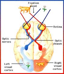 Visione cervello